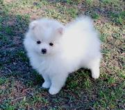 Healthy couple of 7weeks old  Pomeranian on adoption,