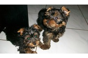 Outstanding A kc Reg Yorkie Puppies