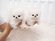 Crystal Tiny Pom puppies.