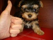 Tiny teacup yorkie puppies for adoption