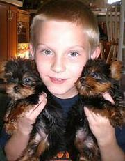 2 Yorkie Puppies For Free Adoption.