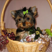 TEACUP YORKIE PUPPY FOR FREE